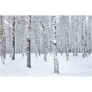 Winter Birch 24 x 36 Print